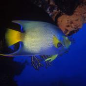Peixe anjo (Holacanthus ciliaris) Ilha de Cozumel | MéxicoQueen Angelfish (Holacanthus ciliaris) Cozumel island | Mexico